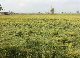 Untimely rainfall-agriculture department asks field officers to get in touch with farmers-Photo courtesy-Internet