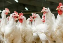 Bird flu in Punjab; 11200 infected birds culled at Behra village Poultry farm-photo courtesy-Internet