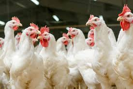 Avian Influenza confirmed in 7 states; avoid further spread of disease-govt to states-photo courtesy-Internet